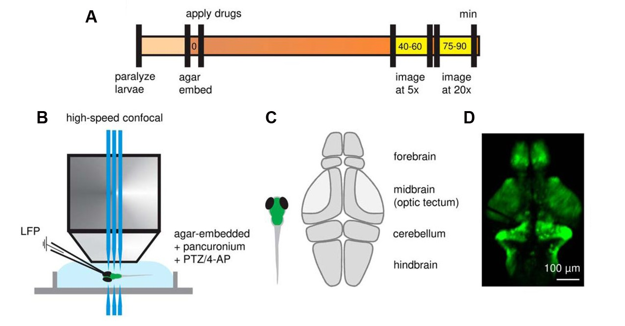 Figure 1. High-speed confocal imaging and LFP recording in the forebrain of GCaMP-expressing zebrafish larvae. (A) Timeline of confocal imaging and LFP recording relative to immobilization of larvae in agar and exposure to convulsant drugs. High-speed confocal recordings were obtained ∼40 minutes after drug exposure, with 5× and 20× objectives used for whole-brain and single neuron imaging, respectively. (B) Simultaneous high-speed confocal imaging and LFP recording in agar-embedded larvae. (C) Schematic illustration depicting sub-regions of the larval zebrafish brain. (D) Representative 5× image of Tg(neurod1:GCaMP6f) zebrafish at 5–6 days postfertilization. (Adapted from Figure 1 in Liu & Baraban et al., 2019.)