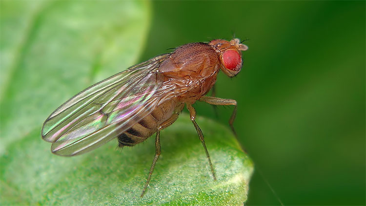 Image of Drosophila melanogaster