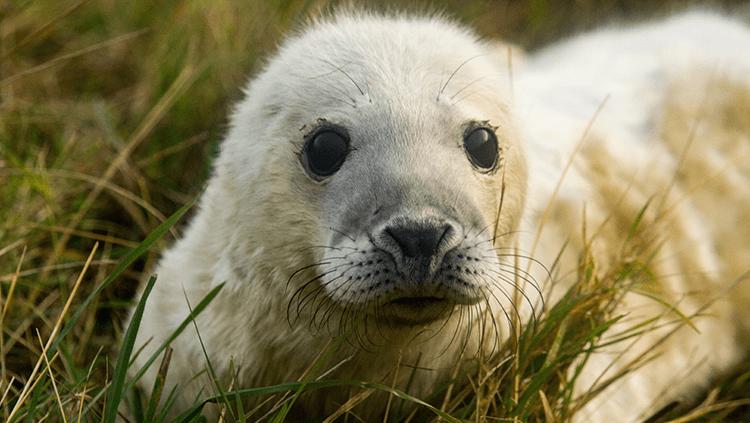 white seal