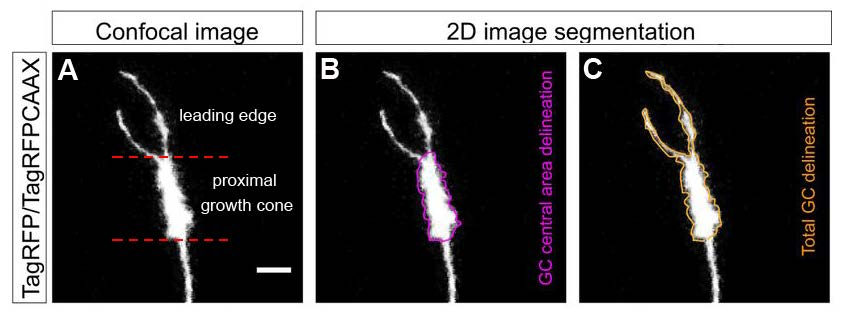 Figure 1. Live imaging growth cone analysis. A, Confocal image of a growth cone visualized by TagRFP/TagRFPCAAX expression. The delineation of the leading edge and proximal growth cone is indicated by dashed red lines. B,C, Growth cone central (B; purple) and total (C; orange) areas were manually segmented and used as regions of interest for determining mitochondrial particles visualized by mitoEGFP (not shown). Scale bar, 5 μm. (Adapted from Figure 1 in Verreet et al., 2019.)